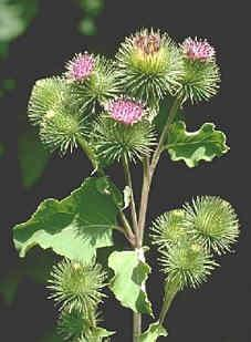 Burdock Root-A cooling, cleansing herb!