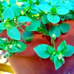 "Really ""Weeds"" ? Chickweed and Cleavers, two great Herbs!"