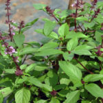 The Basils of Summer:  Holy Basil & Sweet Basil