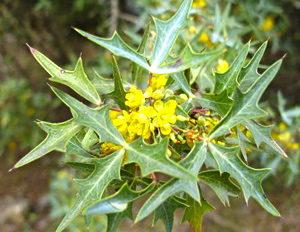 agarita-yellow-bloom