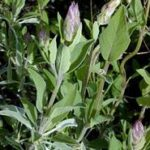 SAGE – A Wise and Wonderful Herb